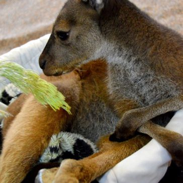 A Happy Surprise: Baby Kangaroo Joeys in Pemberton!