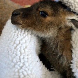 A Happy Surprise: Baby Kangaroo Joeys in Pemberton!