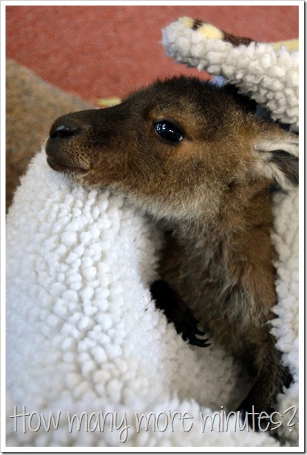 Baby Kangaroo Joeys in Pemberton | How Many More Minutes?